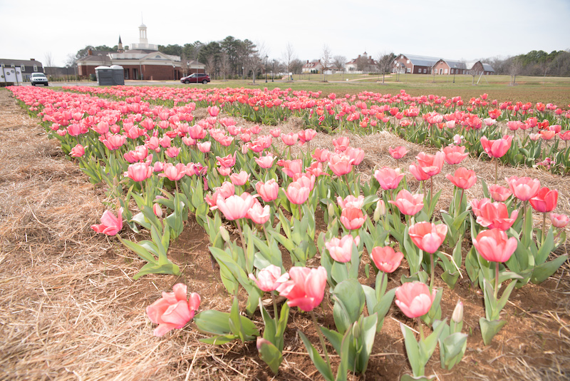 The 2nd Annual Festival of Tulips at the American Village