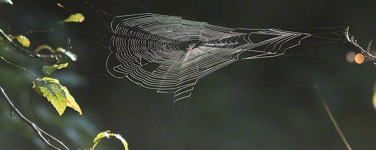 Spiderweb in Great Bear Rainforest