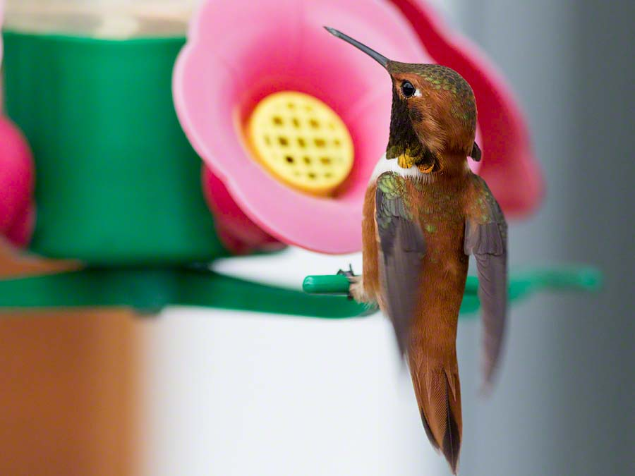 Rufous hummingbird at Great Bear Lodge