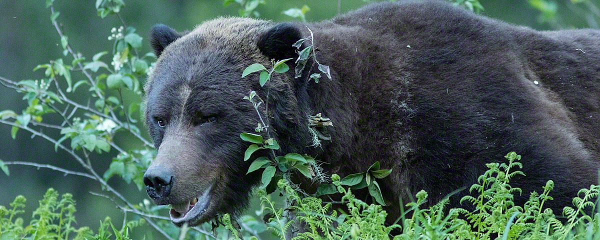 Sidelong glance by male bear