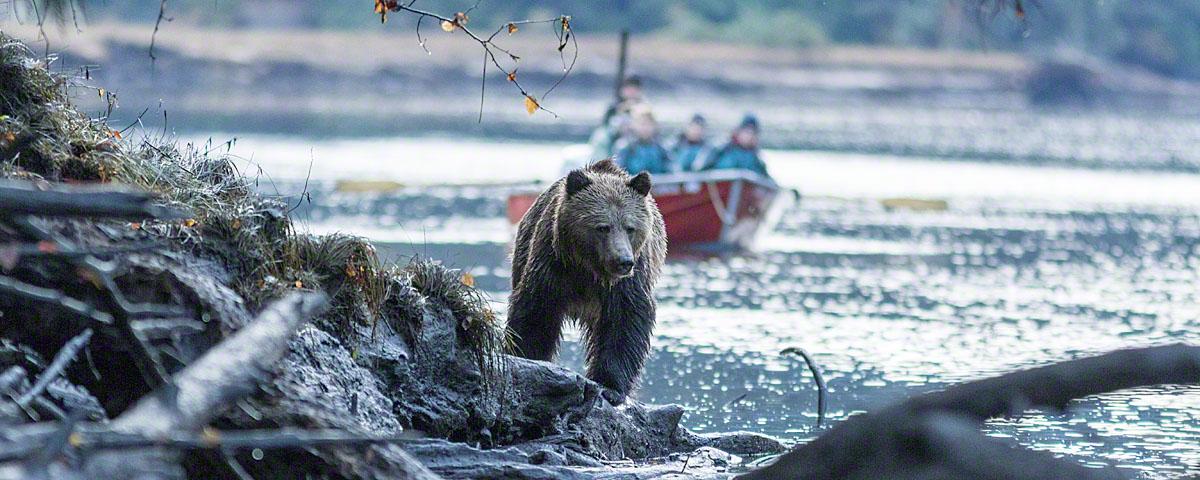 Bear viewing guests watching bear