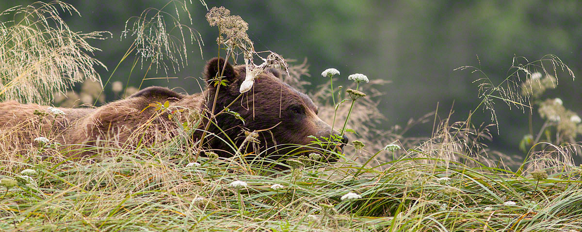 Grizzly bear in summer viewing season