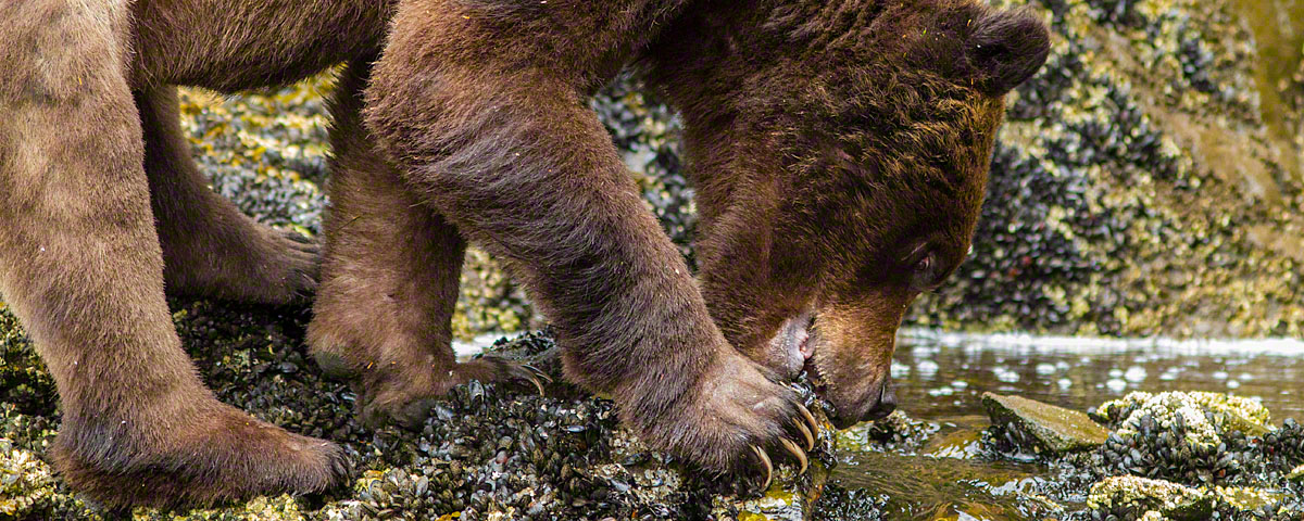 Grizzly bear eating mussels