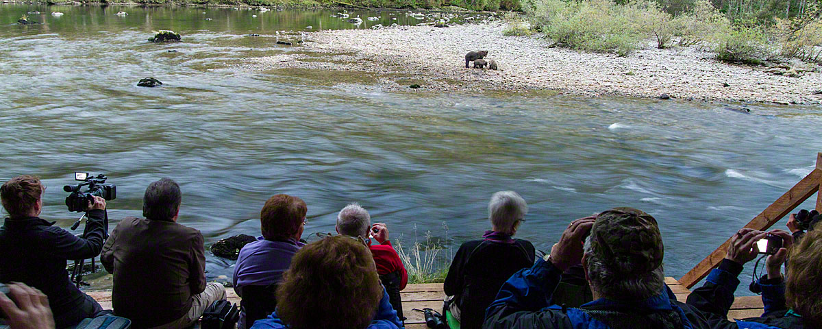 Watching bears at Great Bear Lodge