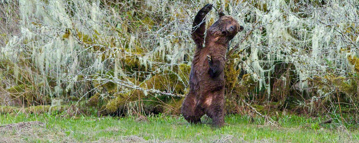 Male bear marking trees