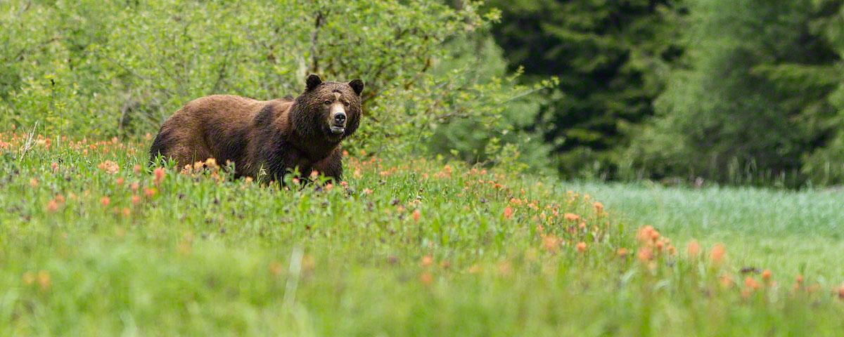 Male bear in spring flowers