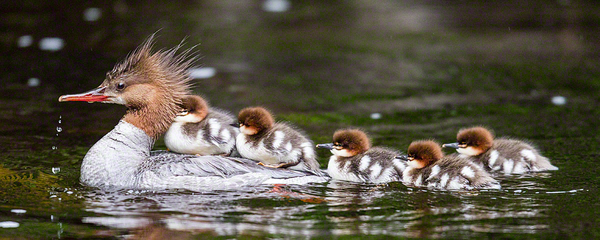Common merganser and her chicks