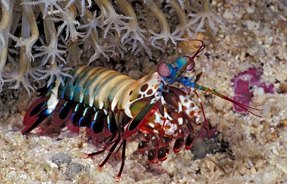 Mantis Shrimp Under Coral