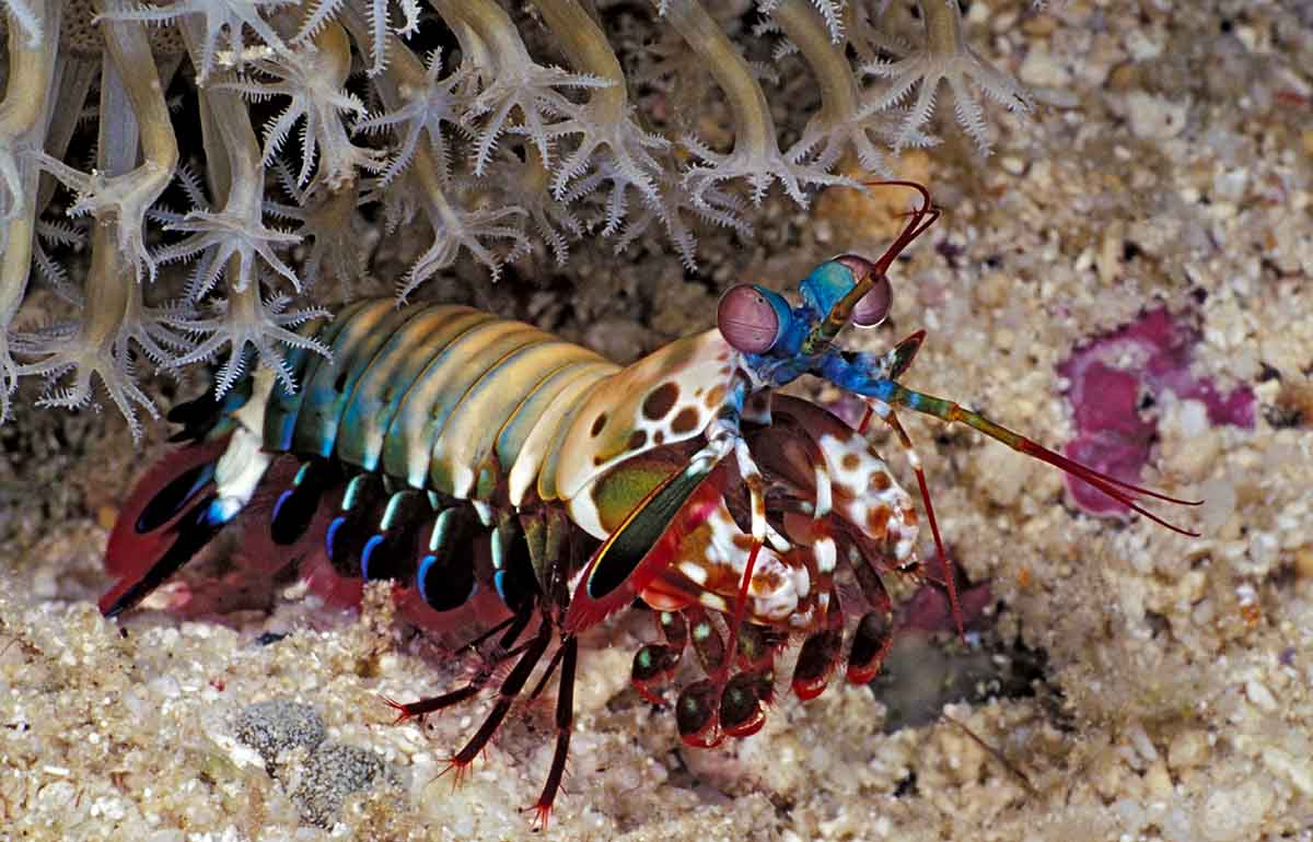 Mantis Shrimp Under Coral