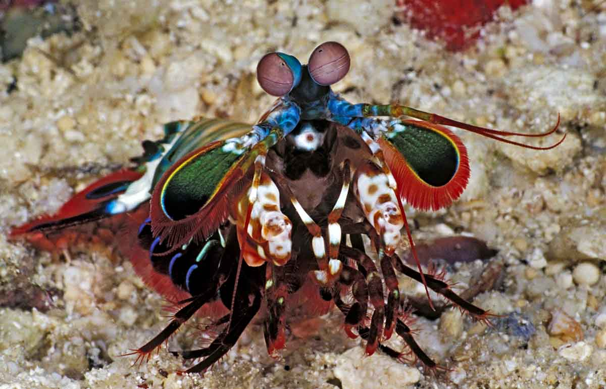 Mantis Shrimp Portrait