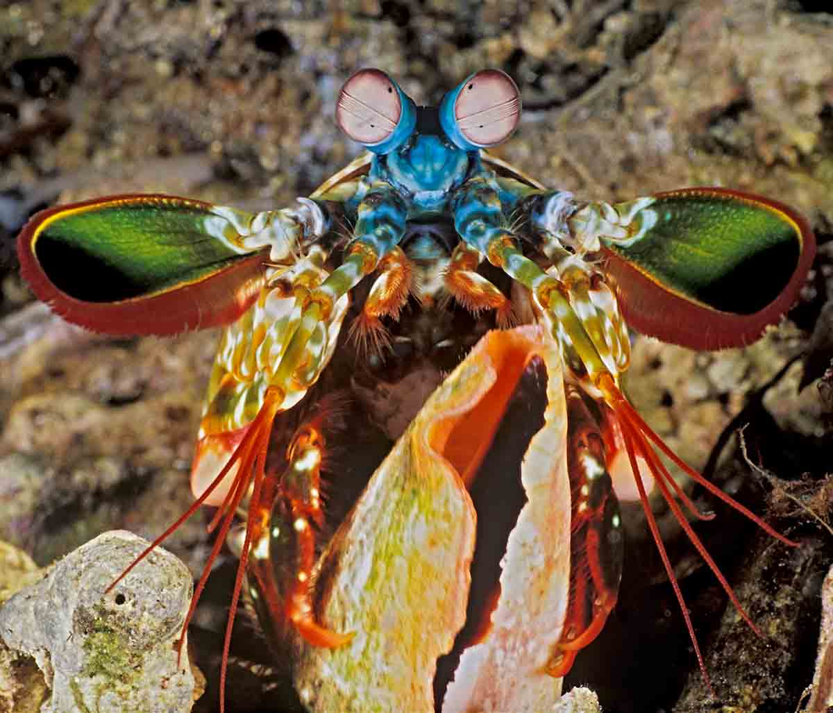 Mantis Shrimp Shell