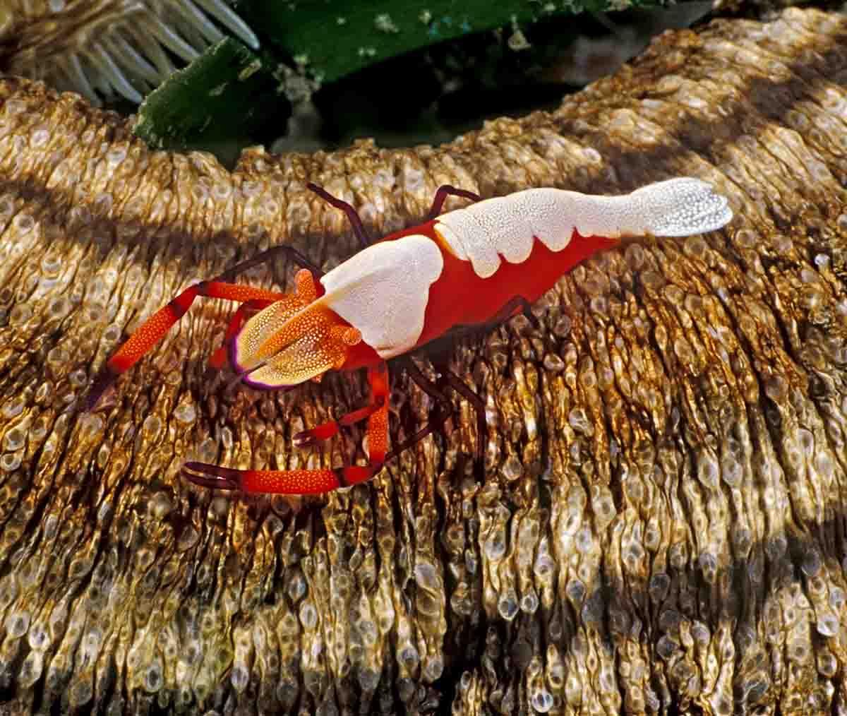 Imperial Shrimp Sea Cucumber