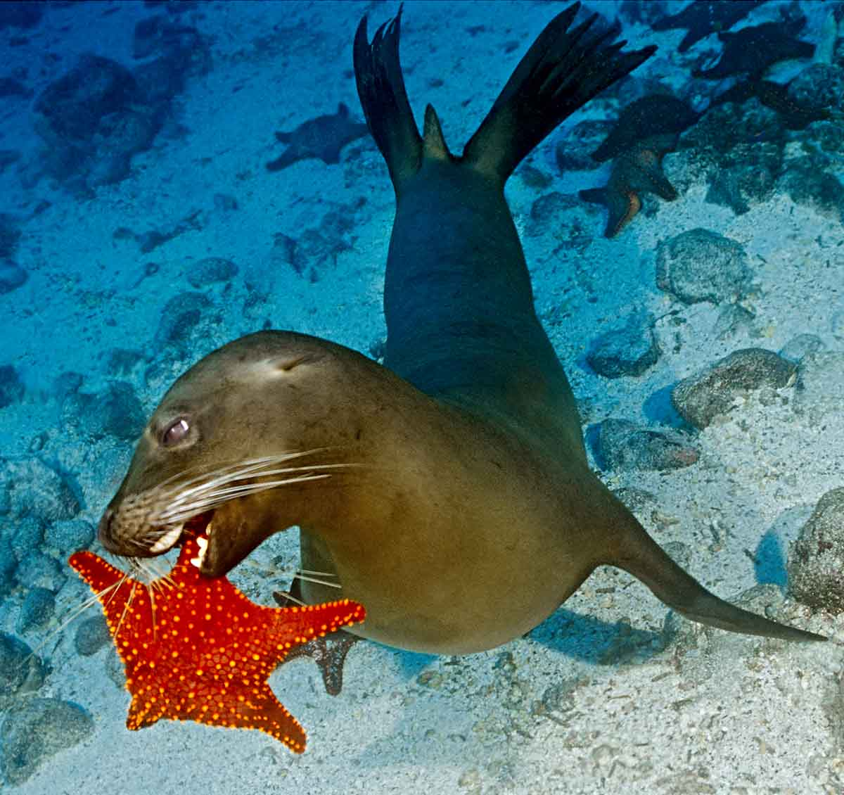 Sea Lion playing with Starfish