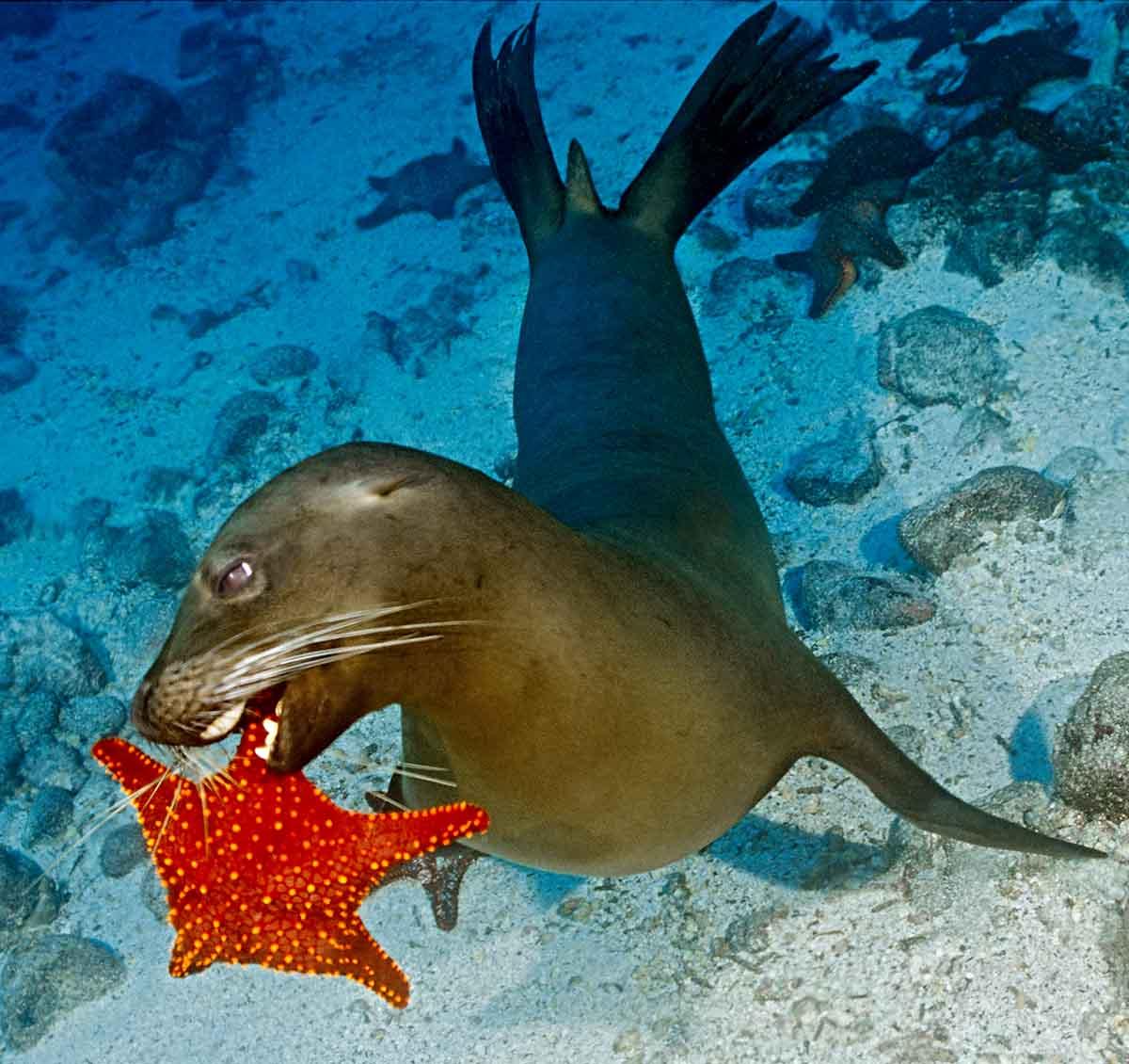Sea Lion playing with Starfish
