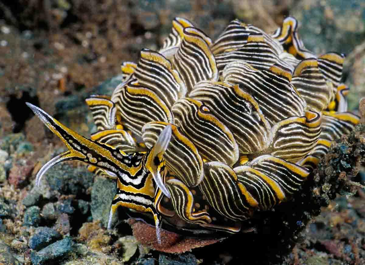 Stegosaurus sea slug (Cyerce nigricans)