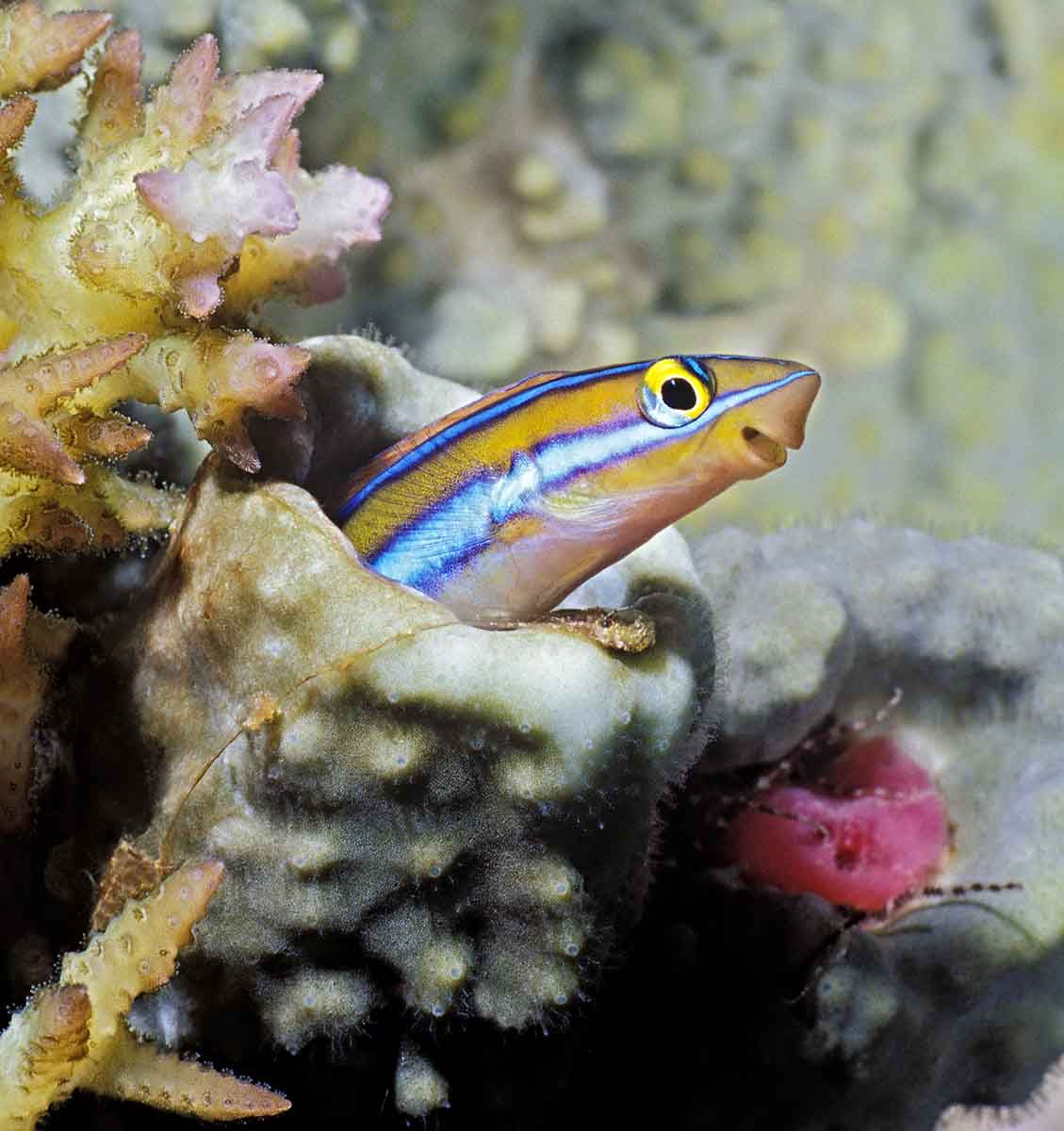 The Blenny Pulpit (blue-lined Sabretooth blenny)