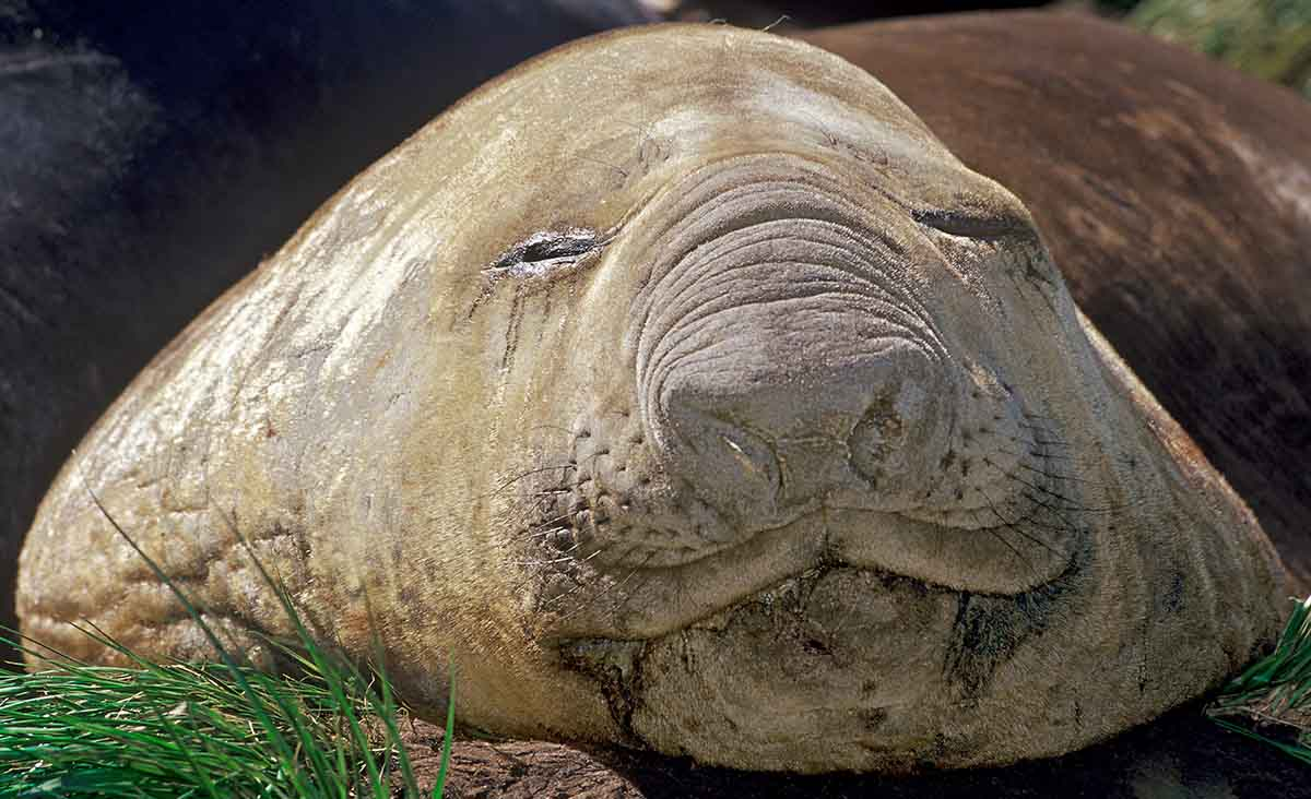 Elephant Seal Portrait
