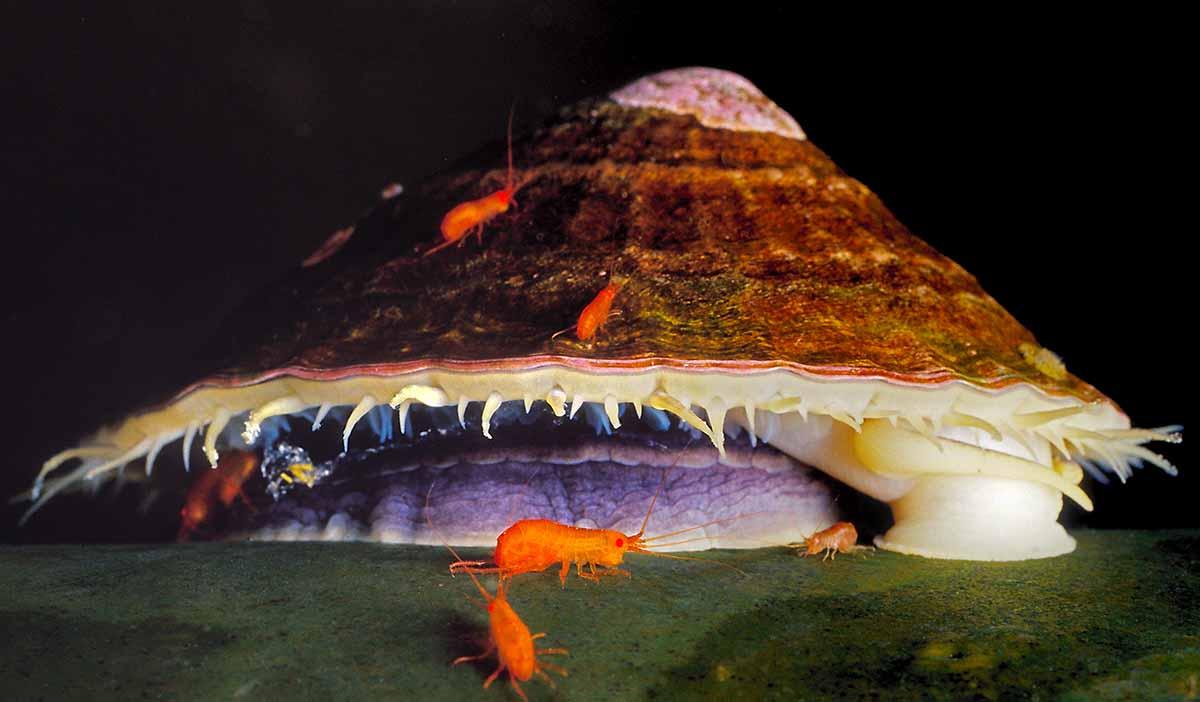 Limpet Crustaceans