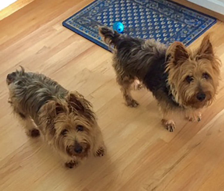 SPDR Australian Terrier Dog Rescue Seattle