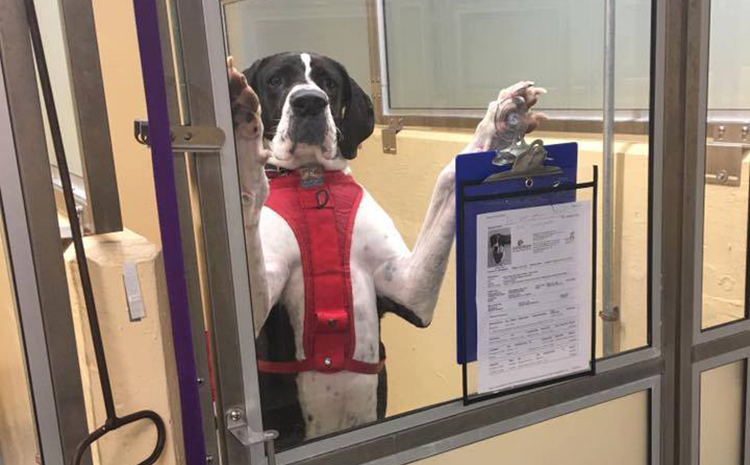 Seattle Animal Shelter Great Dane