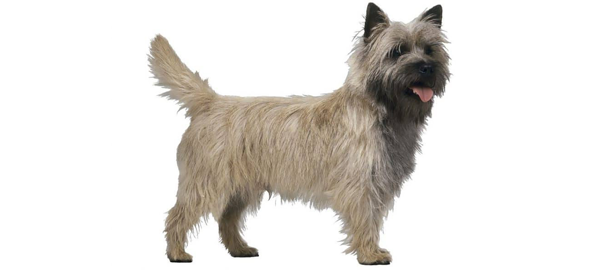Breed Cairn Terrier