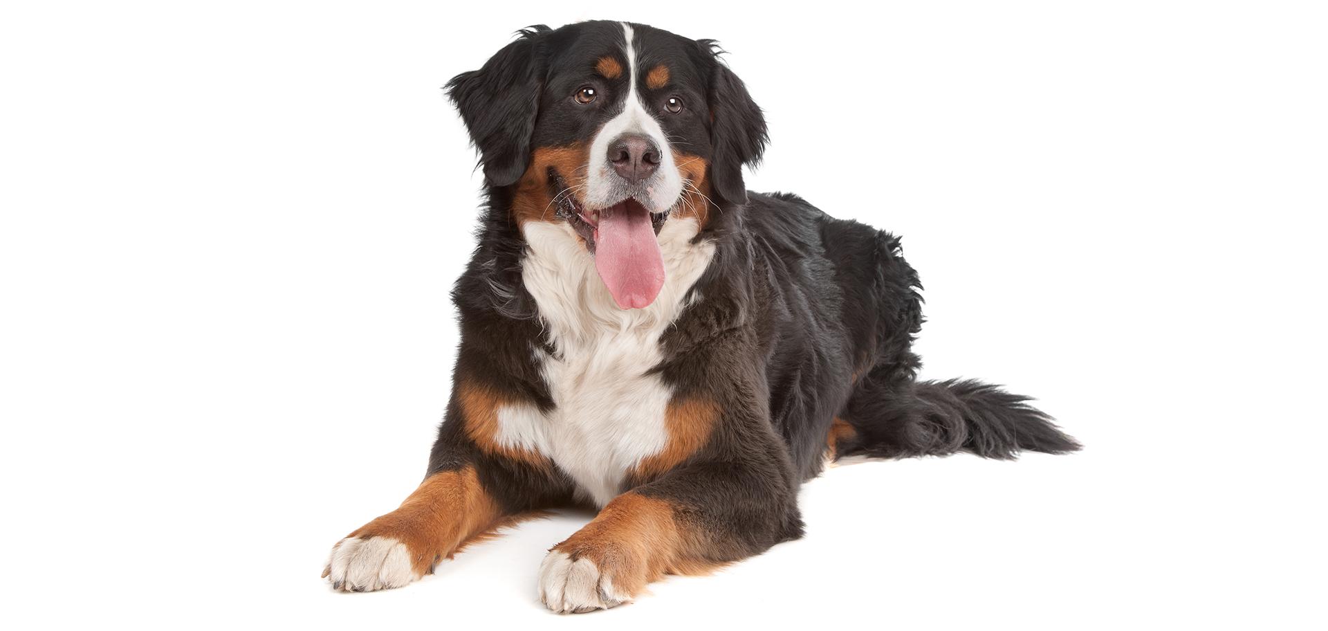 Breed Bernese Mountain Dog