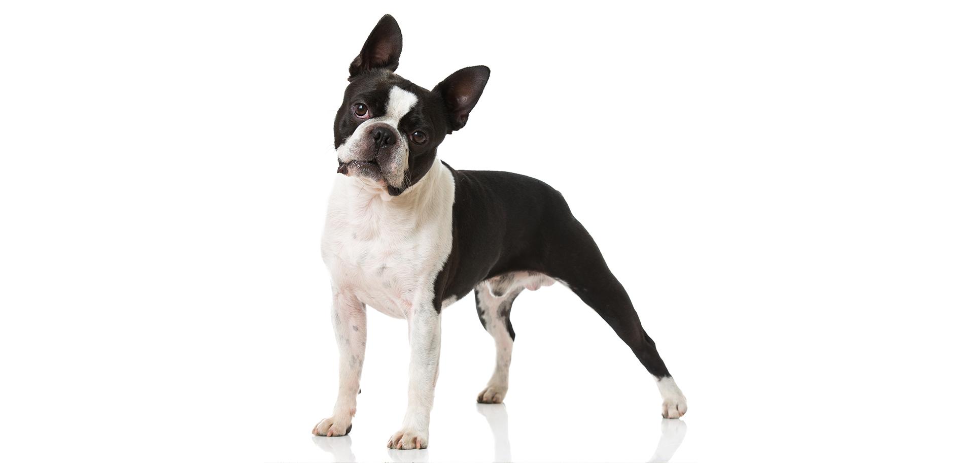 Breed Boston Terrier