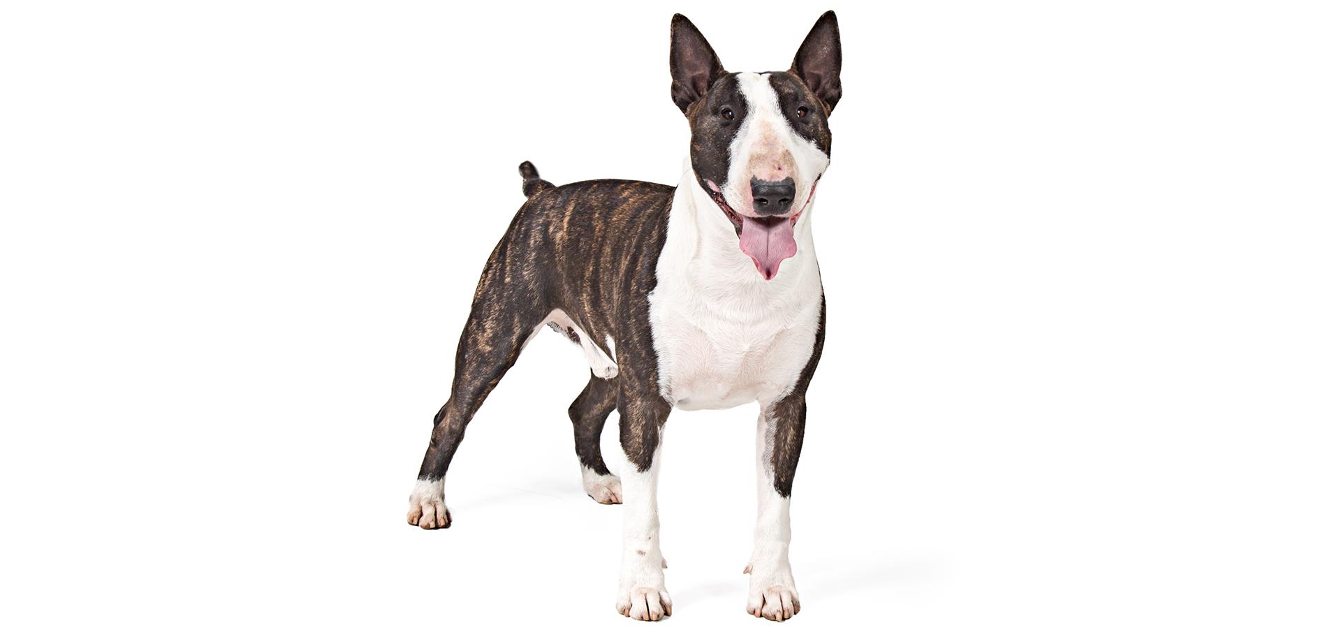 Breed Bull Terrier