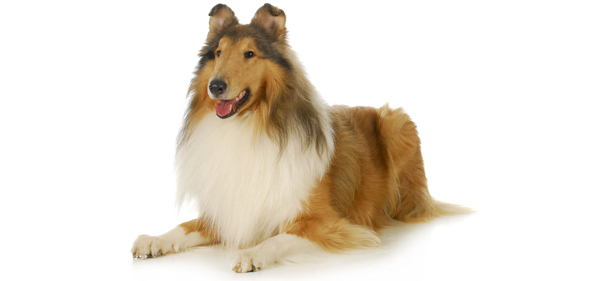 Breed Collie