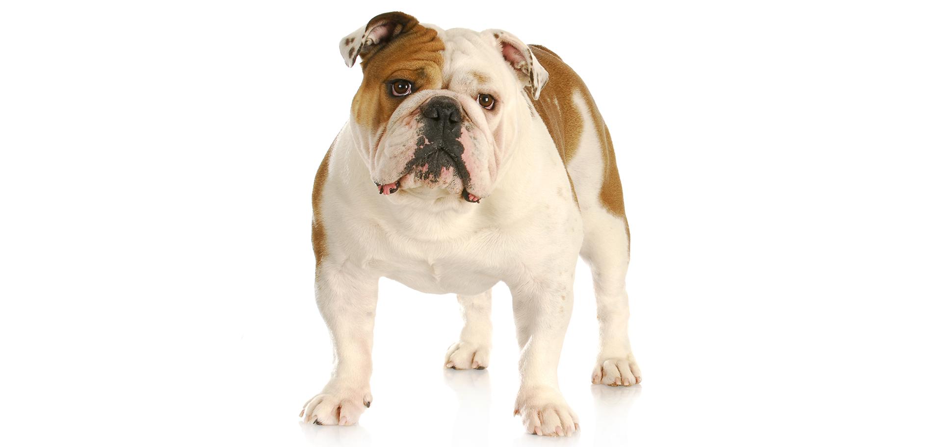 Breed Bulldog (English)