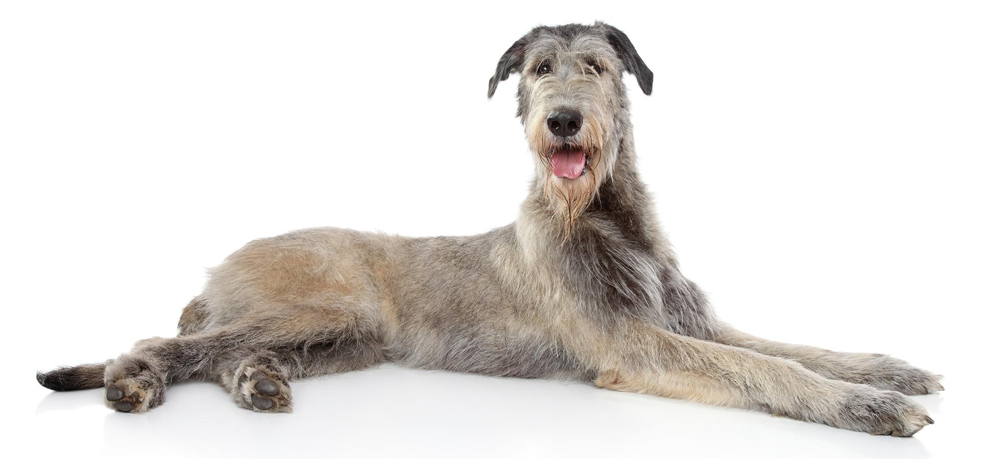 Breed Irish Wolfhound