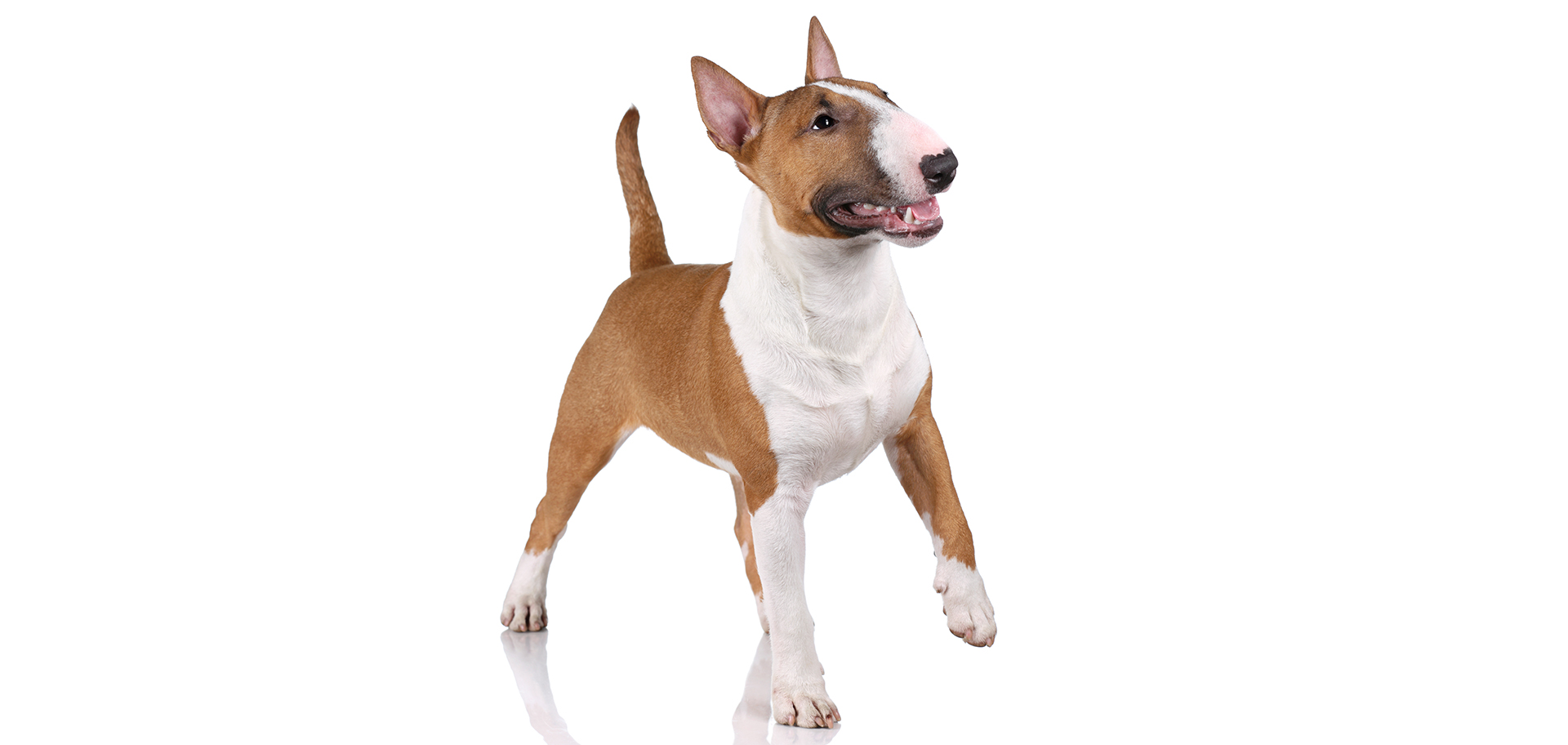 Breed Miniature Bull Terrier