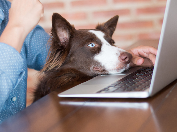 border collie computer shutterstock_308424137 crop