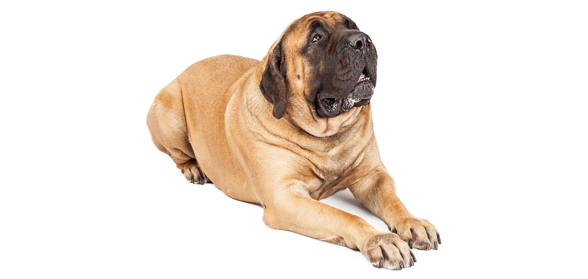 Breed Mastiff