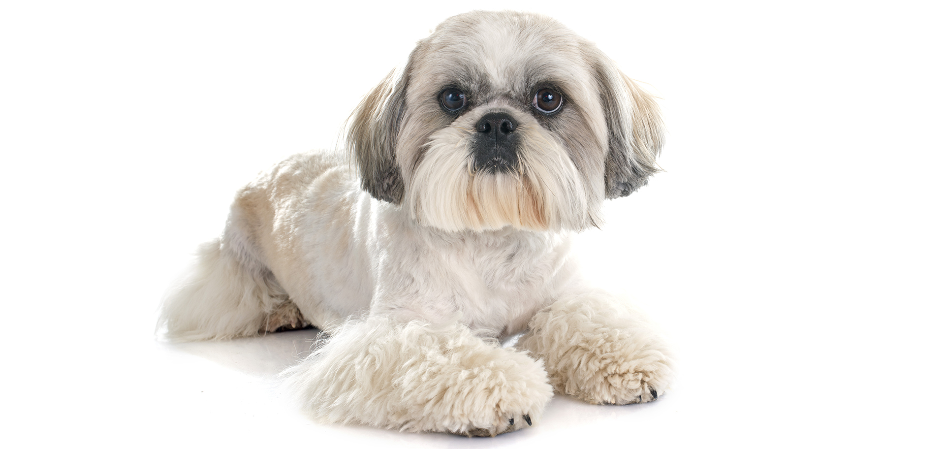 Breed Shih Tzu