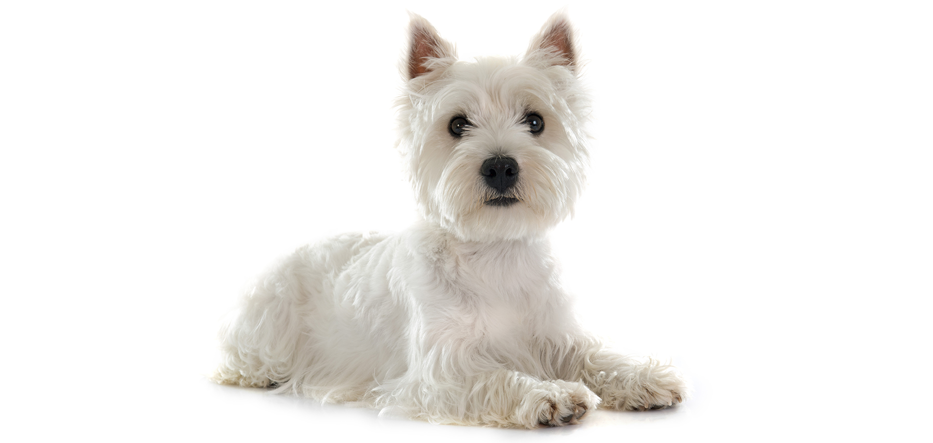 Breed West Highland White Terrier