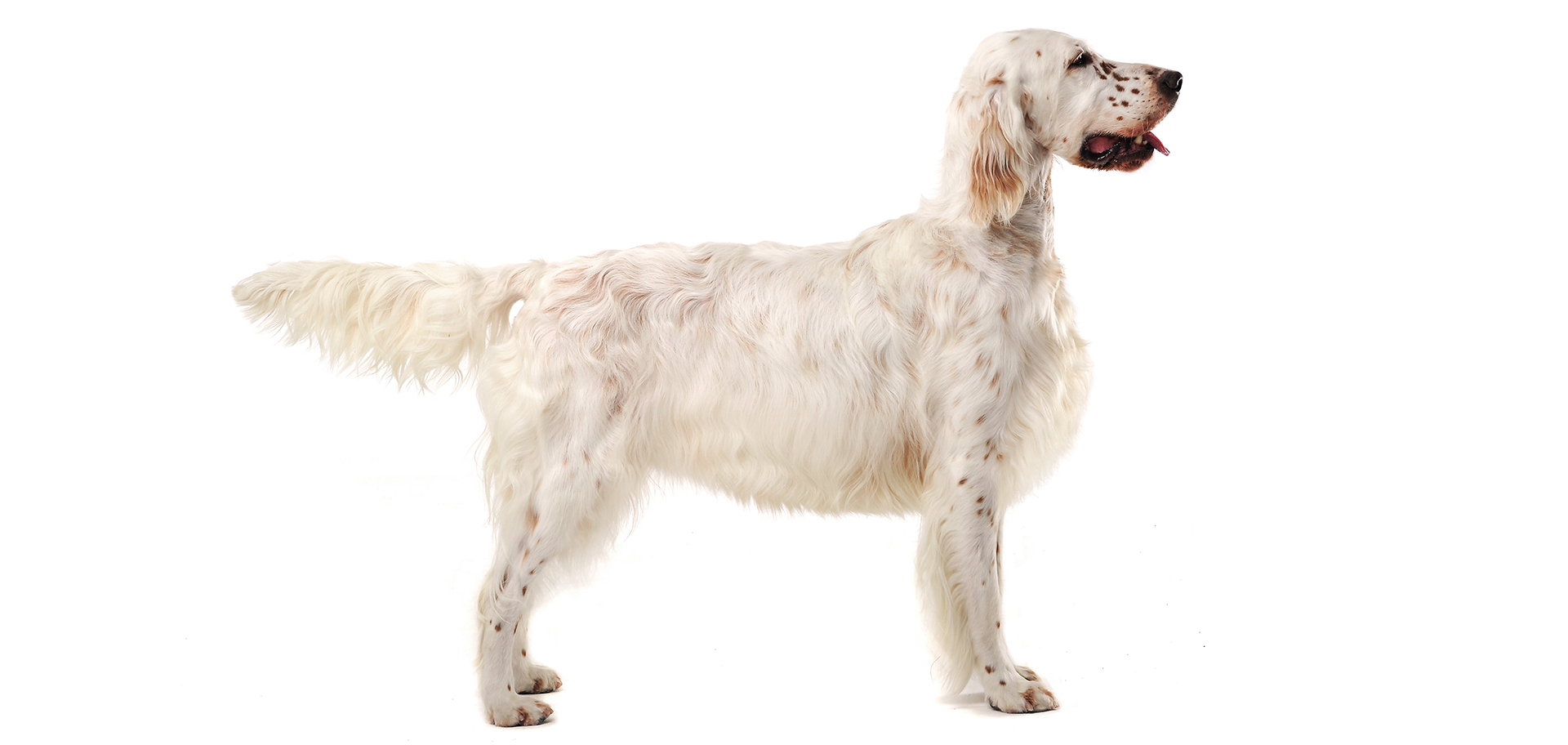 Breed English Setter