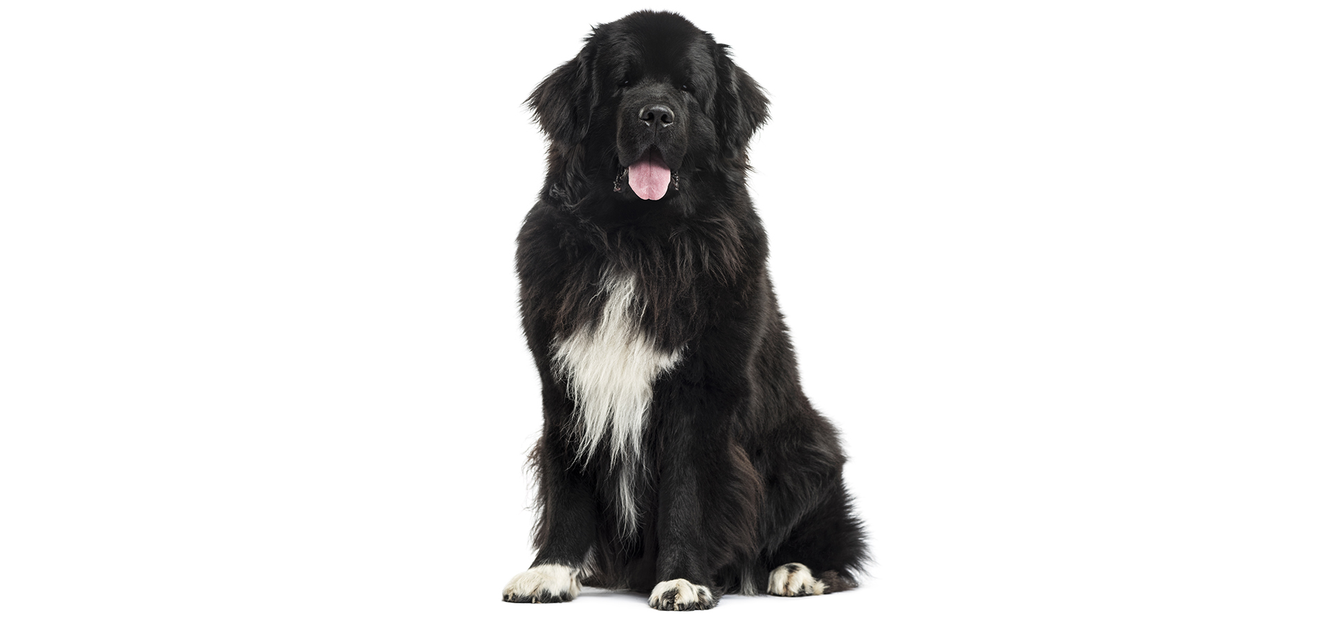 Breed Newfoundland