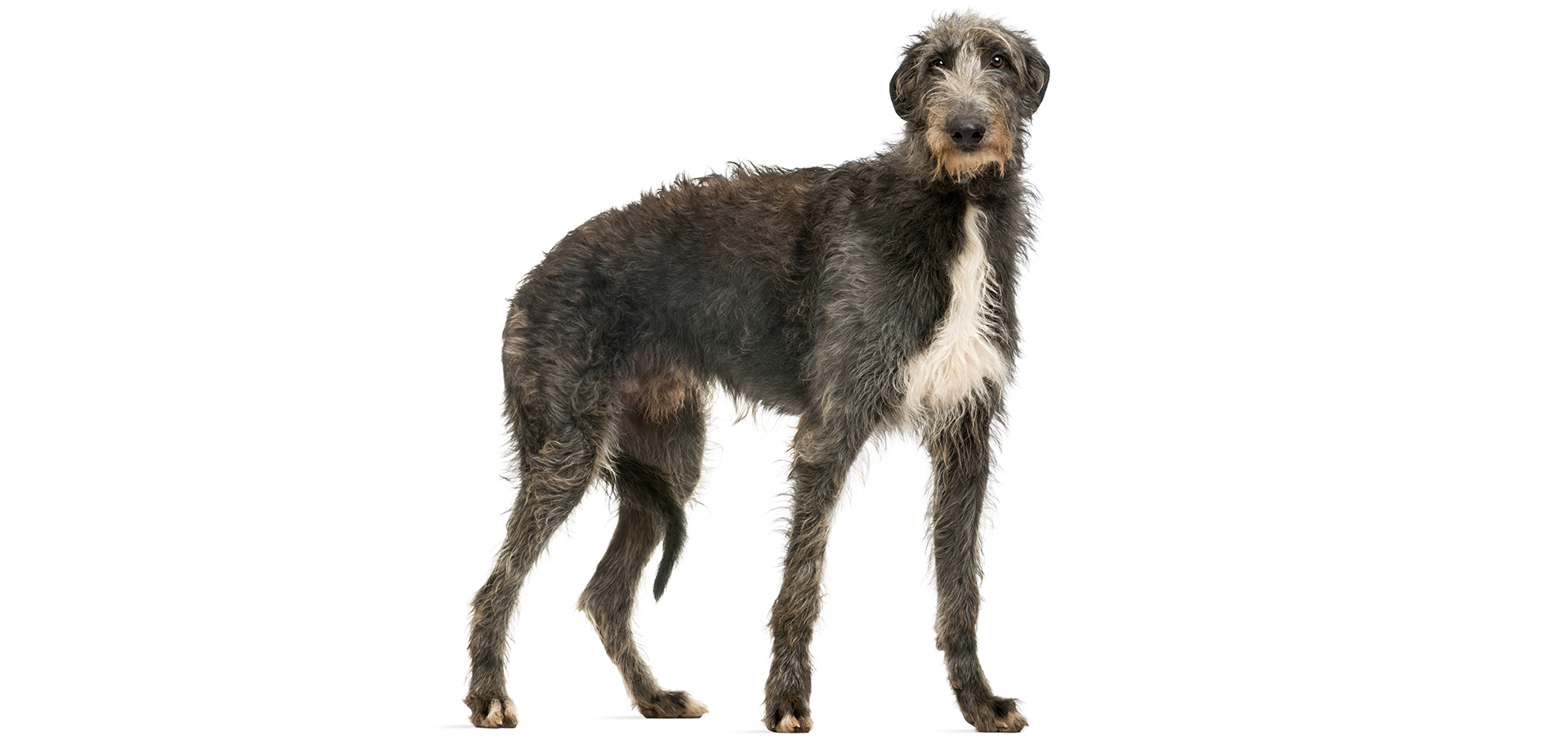 Breed Scottish Deerhound