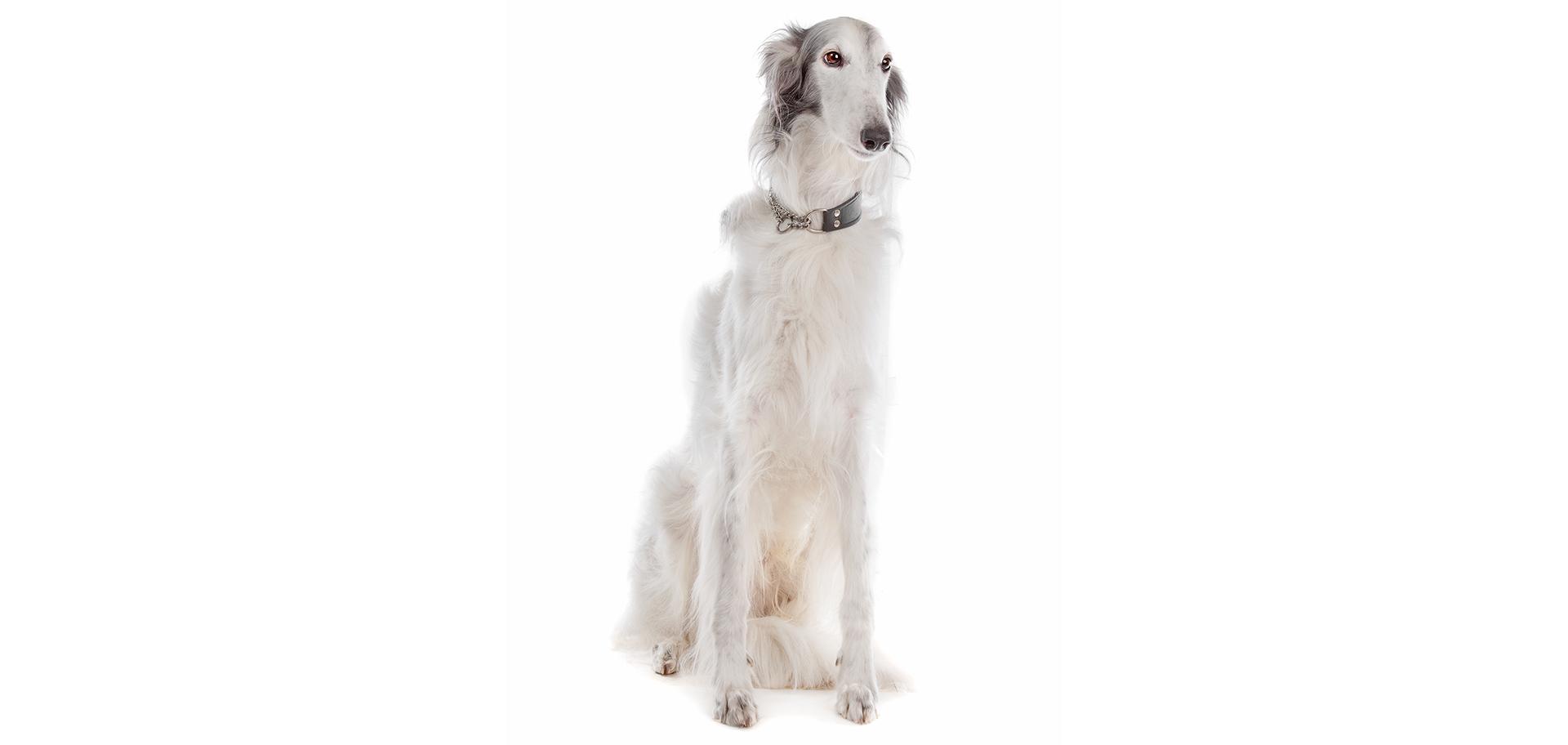 Breed Silken Windhound