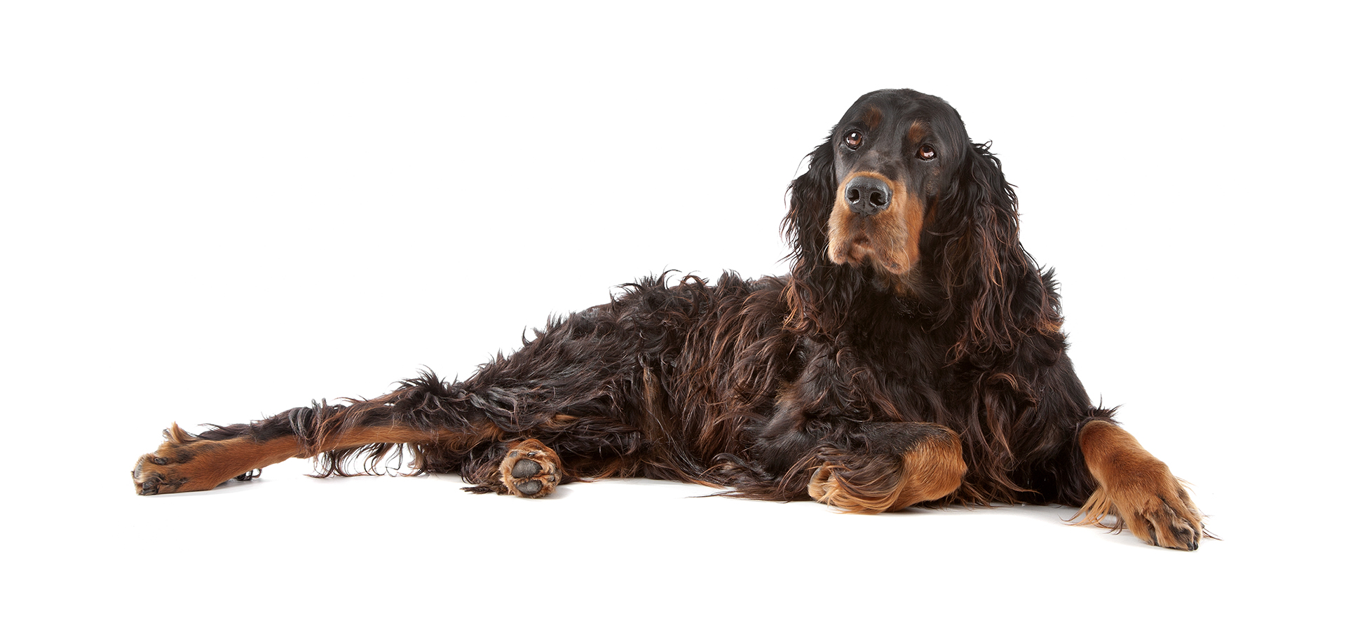 Breed Gordon Setter