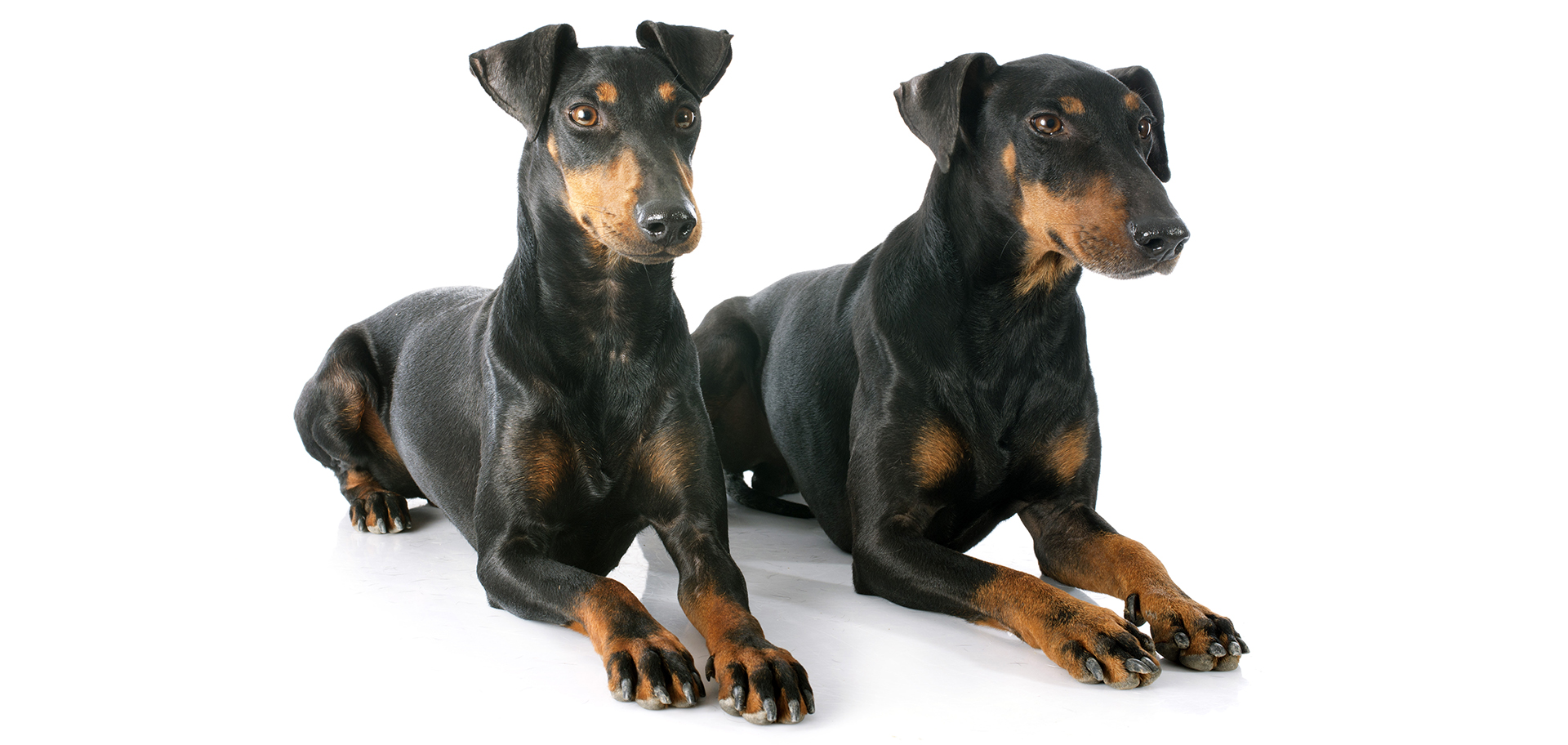 Breed Manchester Terrier