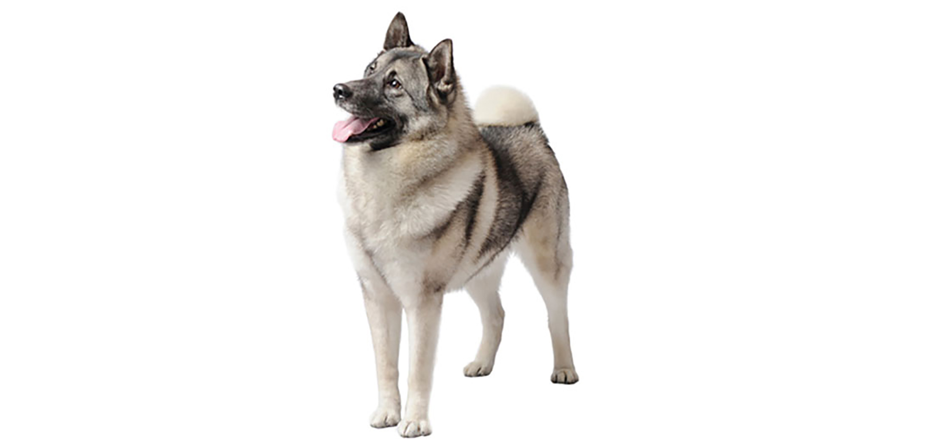Breed Norwegian Elkhound