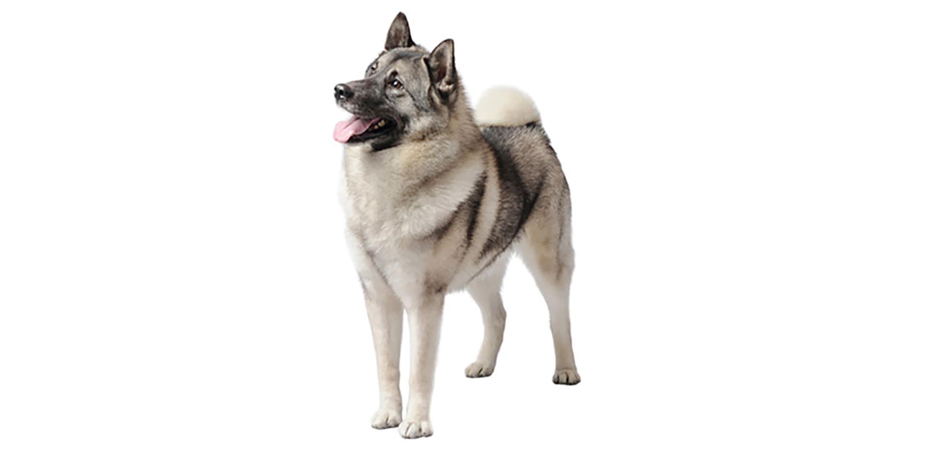 Breed Norwegian Elkhound