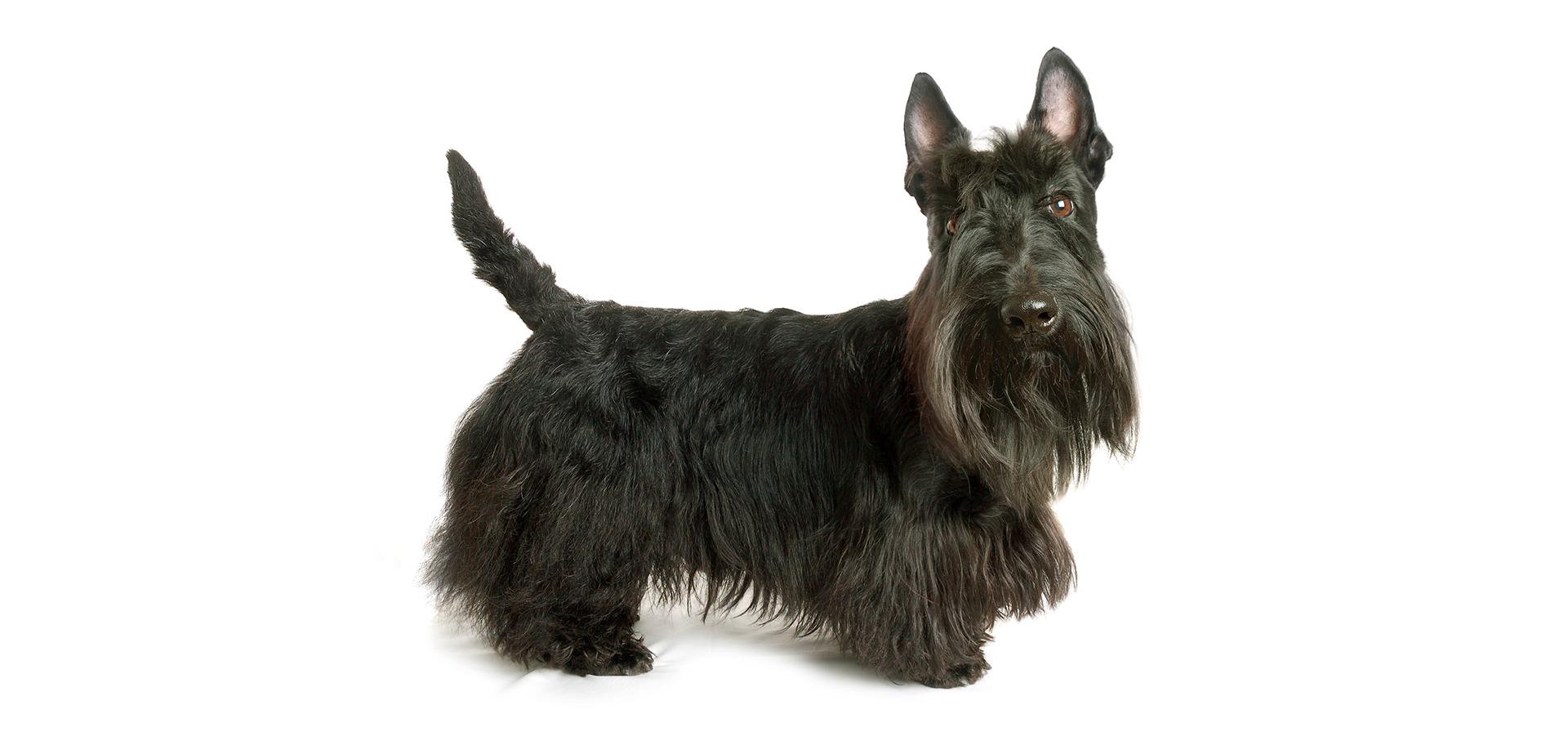 Breed Scottish Terrier