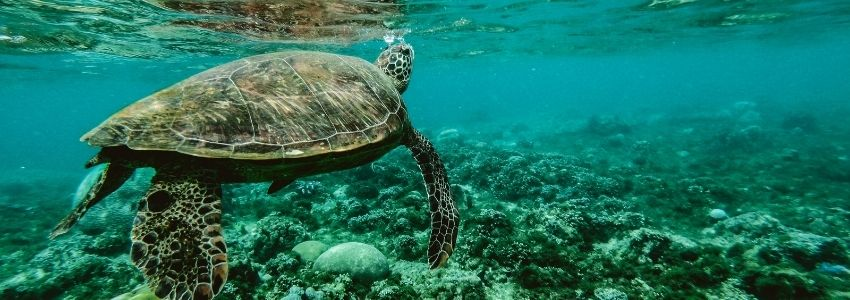 A picture of turtle below the ocean in the philippines