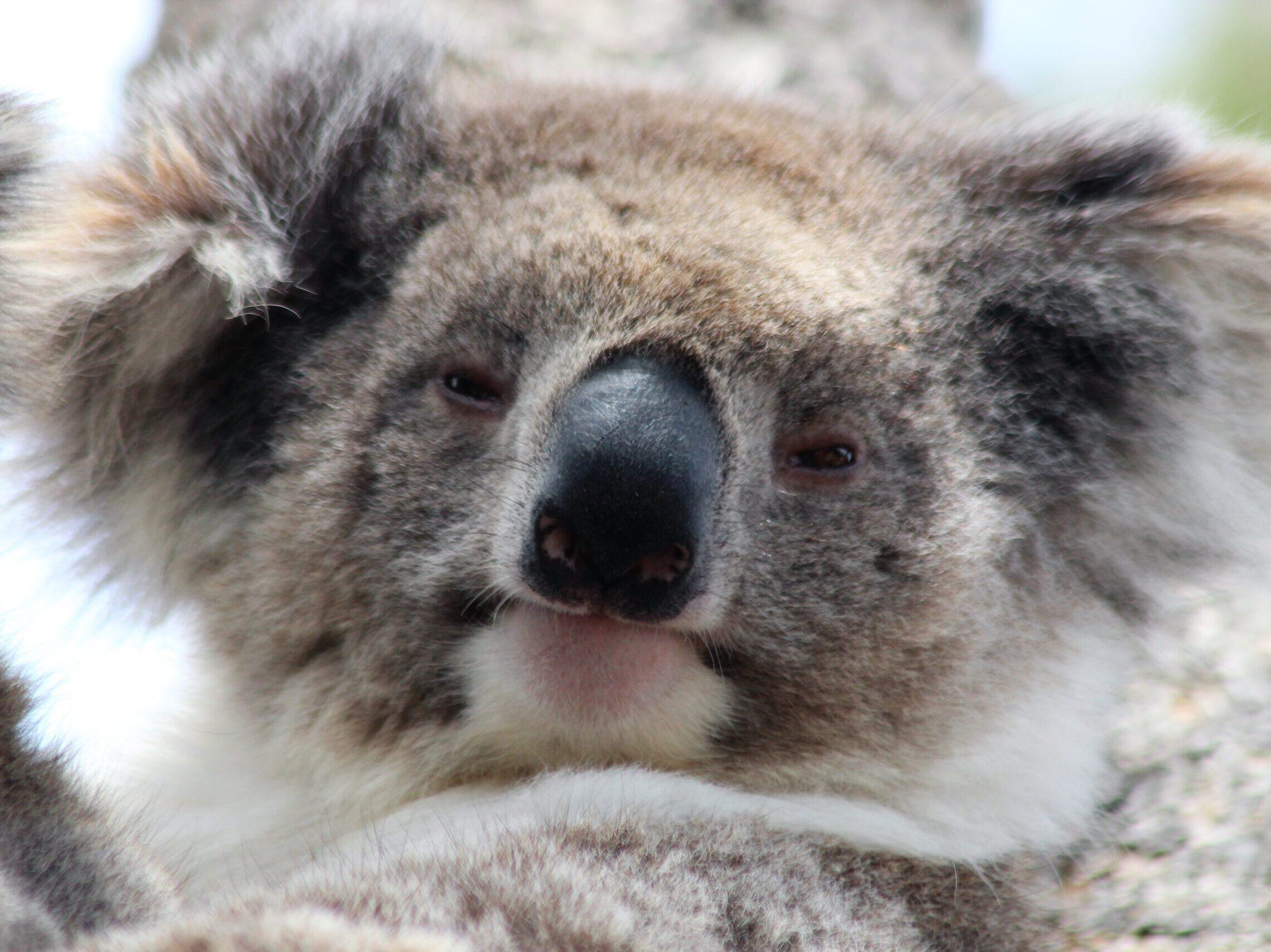 Australian Koala, Kangaroo Island