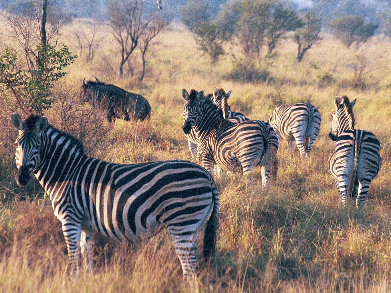 Zebras-South Africa
