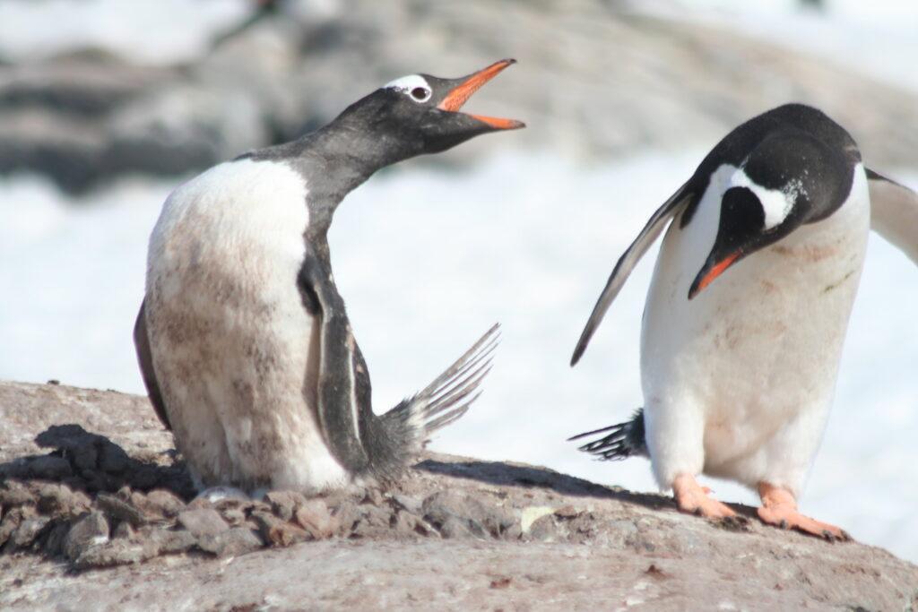 Gentoo penguin couple Antarctica