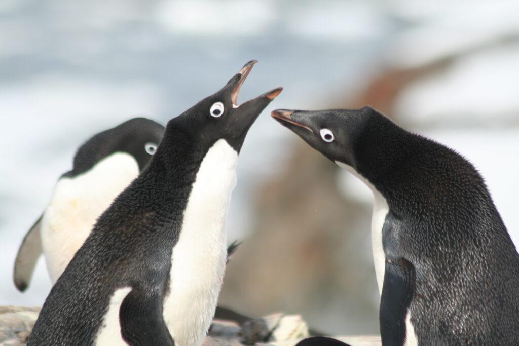 Adelie penguins Antarctica